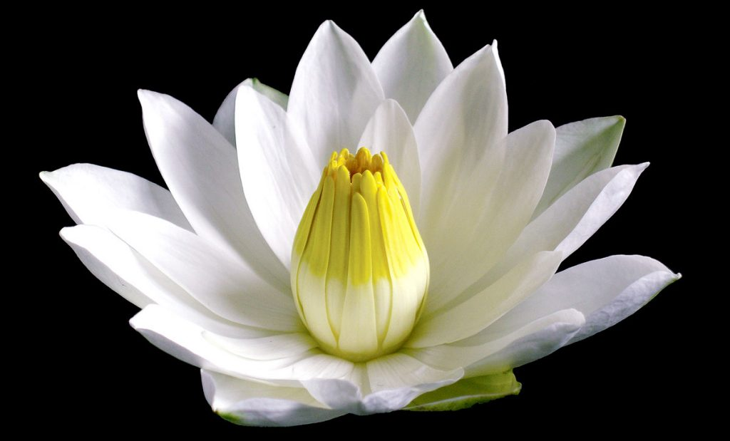 6: The Sacred Ancient Egyptian White Waterlily, although less familiar than the Blue Waterlily, was equally vital in the development of ancient Egyptian symbolism. Its petals are thicker, wider and blunter, and the top half of its vase-like cluster of stamens is often colored yellow. Both Waterlily flowers rise 5– 8 inches above the water and bloom for 3 days or nights, after which they sink to the bottom and spend the next 4– 6 weeks developing seeds. They open and close daily, as do many flowers, but they do not rise and sink with the rising and setting of the Sun, as has been suggested.