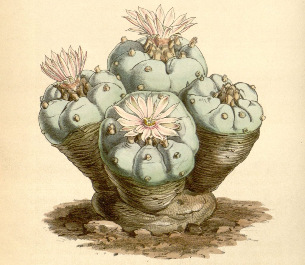 'Echinocactus williamsii' (peyote), Curtis's Botanical Magazine, Plate 4296 Volume 73, 1847.